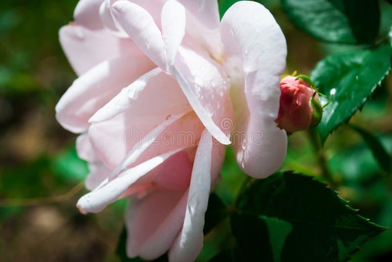 Fermez-vous des pétales de rose roses Foyer sélectif Fleurit le backgroun photos libres de droits