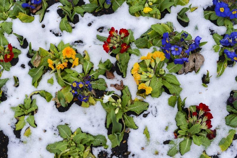 Fermez-vous des pensées de jardin dans la neige, ressort de attente, capturé à Londres, le R-U pendant l'hiver en retard de 2018  image libre de droits