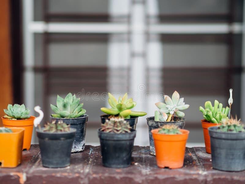 Fermez-vous des petites usines croissantes de cactus dans des pots photo libre de droits