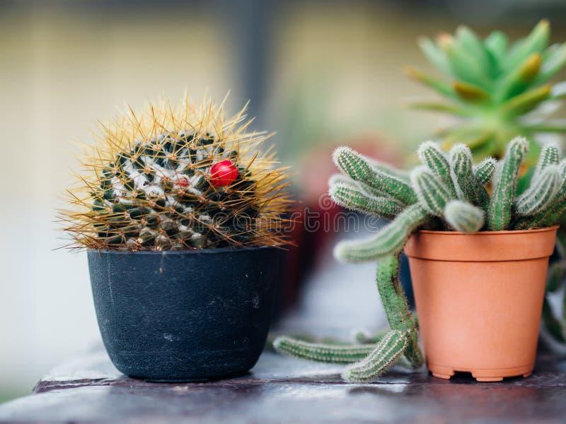Fermez-vous des petites usines croissantes de cactus dans des pots photo stock