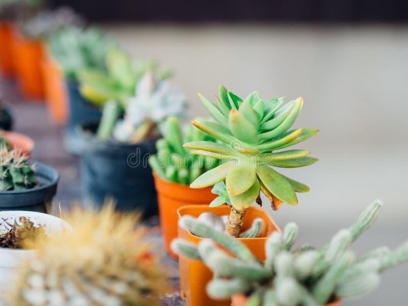 Fermez-vous des petites usines croissantes de cactus dans des pots photographie stock libre de droits