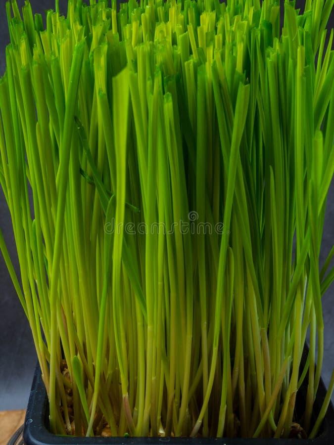 Fermez-vous des pousses vertes micro, wheatgrass image stock