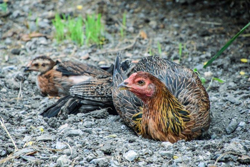 Fermez-vous des poussins de poule et de tache floue Poules et poussins dormant au soleil, la surveillance de poules pour protéger photo libre de droits