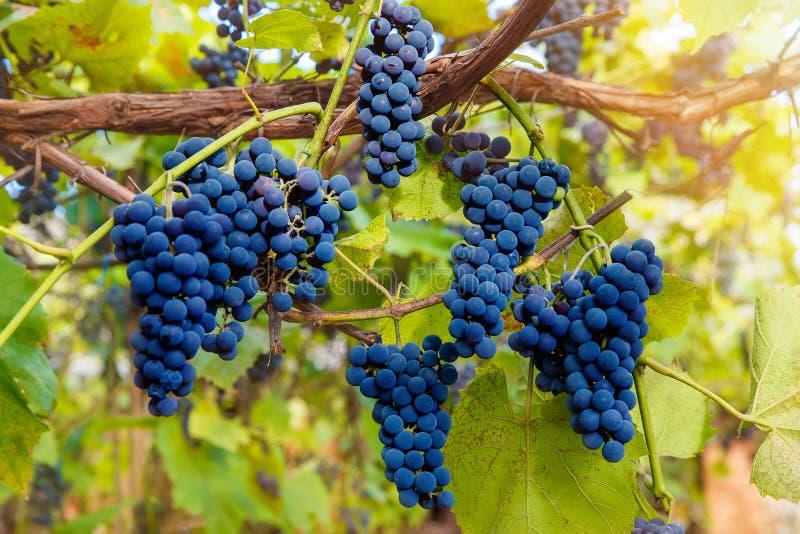 Download Fermez-vous Des Raisins De Vin Rouge Accrochant Sur La Vigne Pendant L'après-midi Image stock - Image du moisson, batterie: 77159407