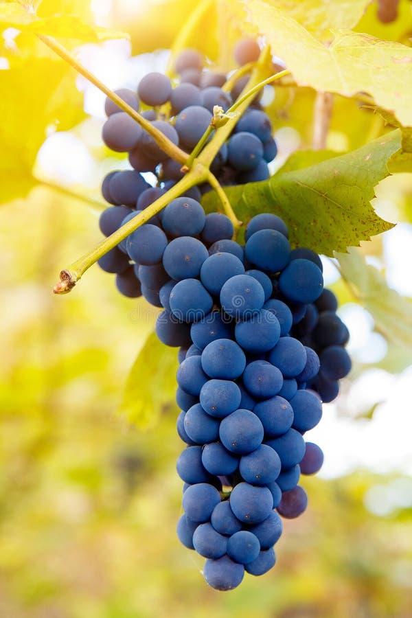 Download Fermez-vous Des Raisins De Vin Rouge Accrochant Sur La Vigne Pendant L'après-midi Image stock - Image du baies, nourriture: 77159447