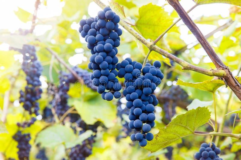 Download Fermez-vous Des Raisins De Vin Rouge Accrochant Sur La Vigne Pendant L'après-midi Photo stock - Image du alcool, moisson: 77159614