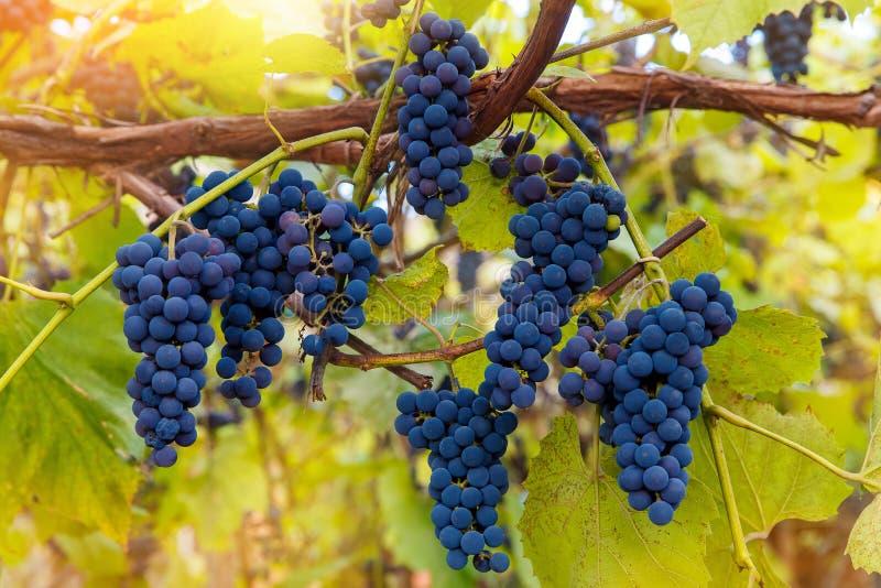 Download Fermez-vous Des Raisins De Vin Rouge Accrochant Sur La Vigne Pendant L'après-midi Photo stock - Image du raisins, boisson: 77160426