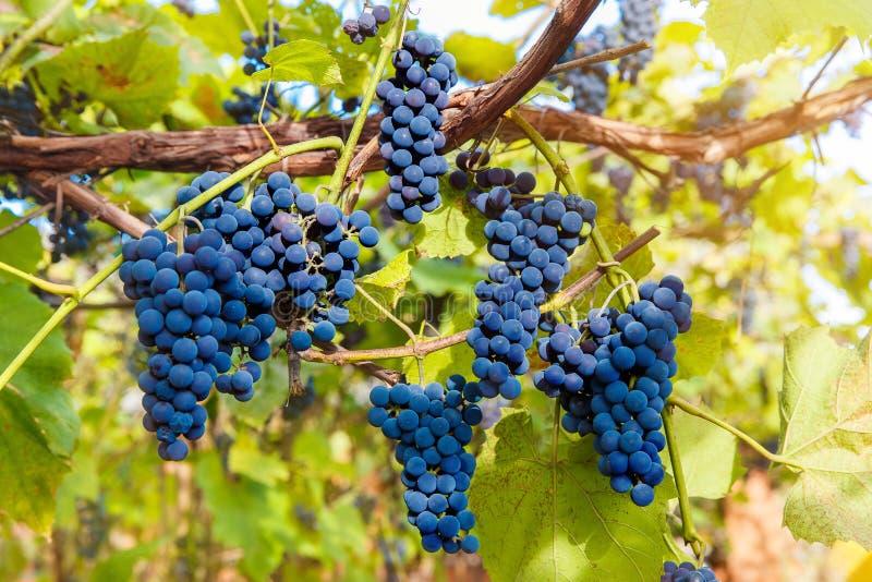 Download Fermez-vous Des Raisins De Vin Rouge Accrochant Sur La Vigne Pendant L'après-midi Image stock - Image du collecte, célébration: 77160769