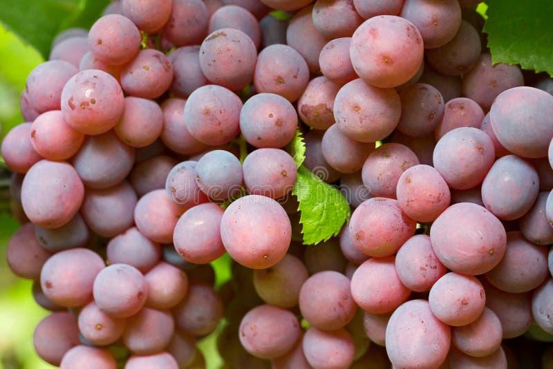 Fermez-vous des raisins roses photos libres de droits