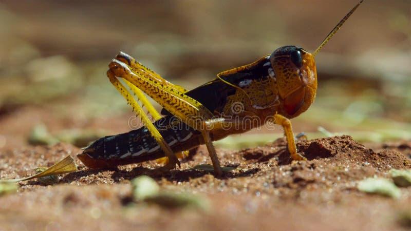 Fermez-vous des sauterelles que l'armée est sur la marche dans Madagacar photos libres de droits