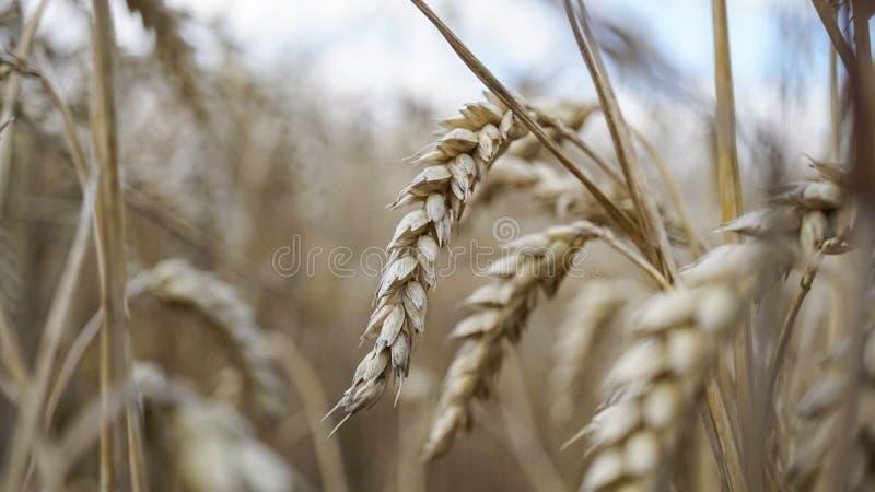 Fermez-vous des tiges du blé d'or, transitoire de grain photos stock