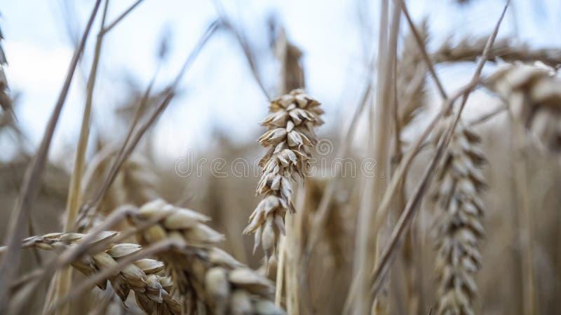 Fermez-vous des tiges du blé d'or, transitoire de grain photographie stock libre de droits