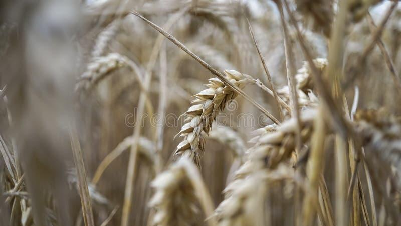 Fermez-vous des tiges du blé d'or, transitoire de grain image libre de droits