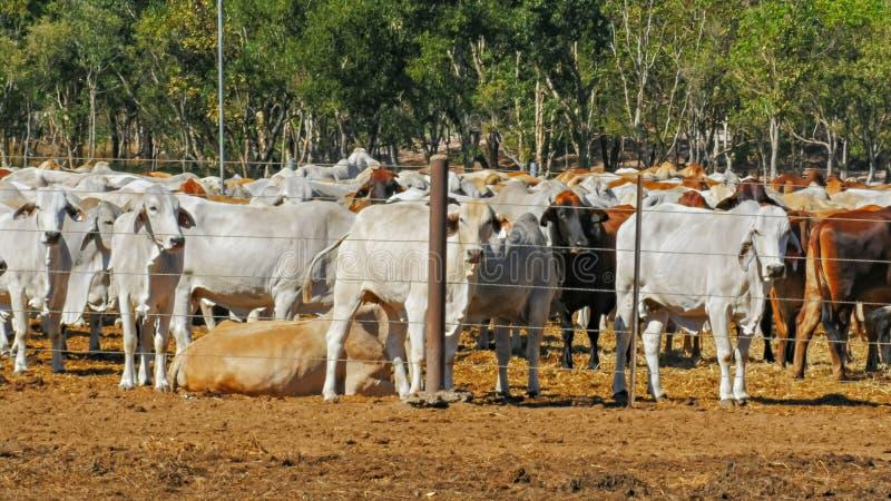 Fermez-vous des troupeaux de cheptels bovins australiens de brahman étant tenus à une cour de bétail image libre de droits