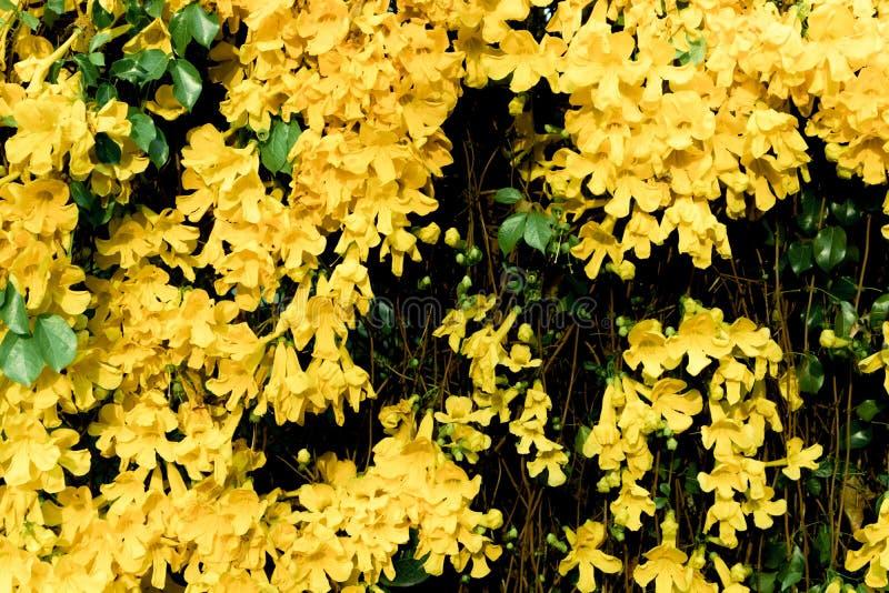 Fermez-vous des usines de plante grimpante de la griffe du beau chat jaune de fleur images stock