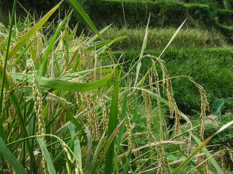 Fermez-vous des usines de riz avec les grains mûrs aux terrasses de riz de tegallang image stock
