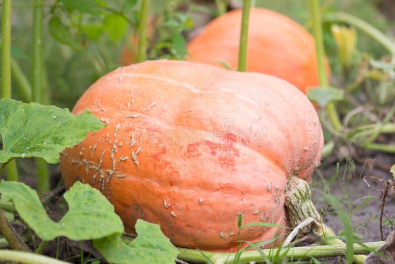 Fermez-vous du beau gisement de potiron Potirons de Halloween à la ferme Correction de potiron un matin ensoleillé d'automne pend images libres de droits