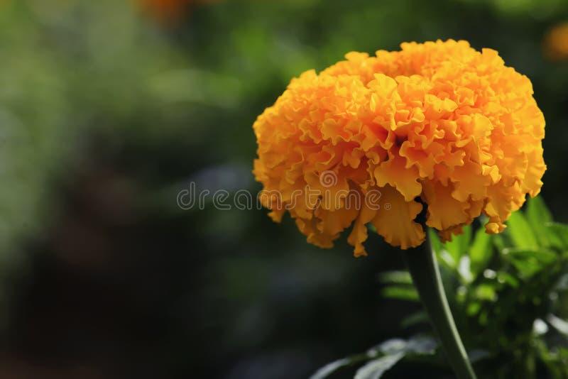 Fermez-vous du beau souci d'erecta de Tagetes de fleur de souci, mexicain, aztèque ou africain avec la lumière naturelle image stock