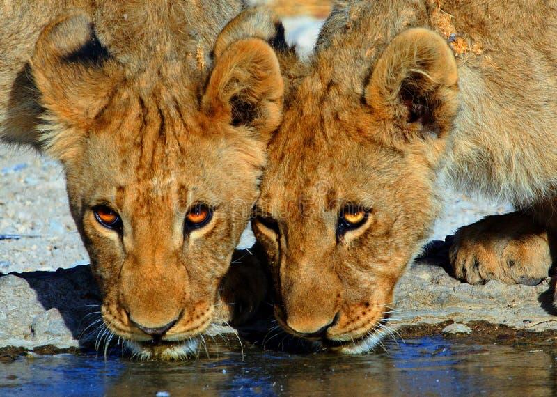 Fermez-vous du boire de deux de lion têtes de petit animal images stock