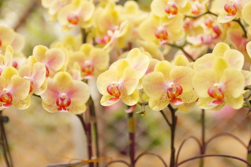 Fermez-vous du bouquet d'orchidées avec le fond naturel, belle fleur de floraison d'orchidée dans le jardin photos stock