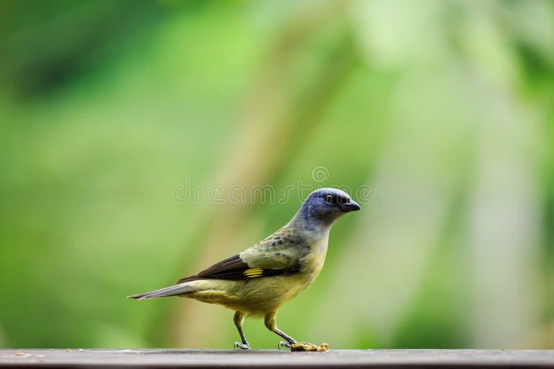 Fermez-vous du côté de l'oiseau tropical, jaune et par bleu repéré d'aile, dans la forêt tropicale photos stock