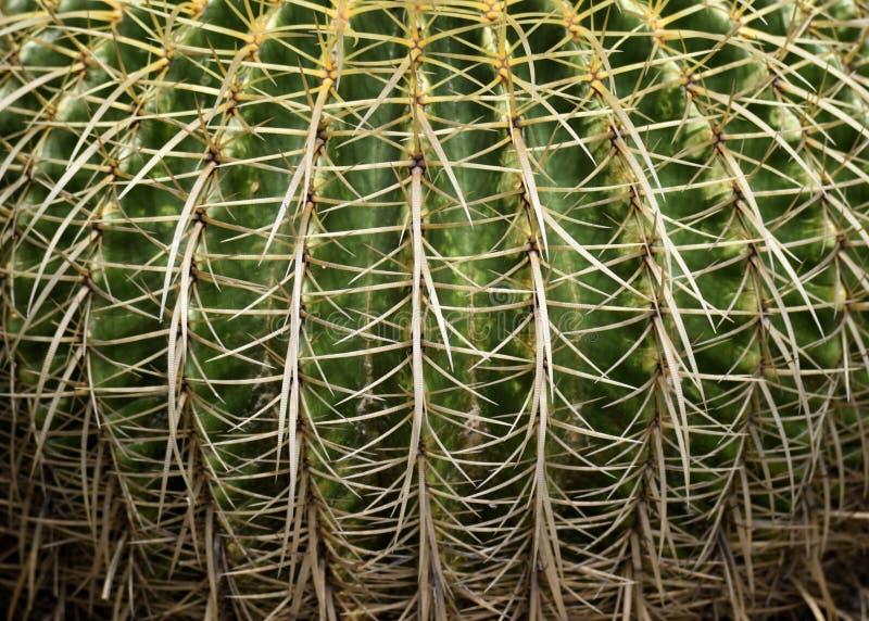 Fermez-vous du cactus de baril d'or images libres de droits