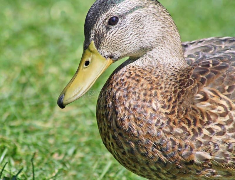 Fermez-vous du canard de Mallard images libres de droits