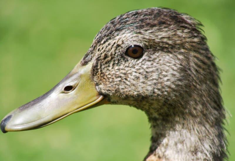 Fermez-vous du canard de Mallard photo libre de droits