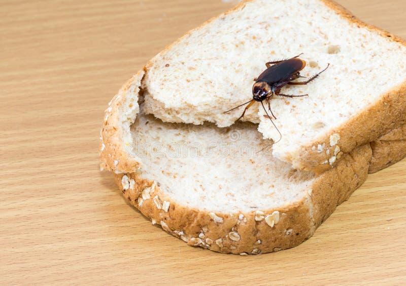 Fermez-vous du cancrelat sur un pain de bl? entier images libres de droits