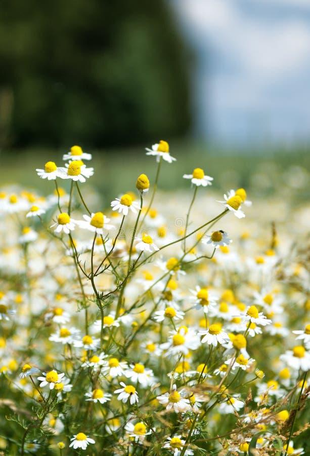 Fermez-vous du champ des fleurs de camomille images libres de droits