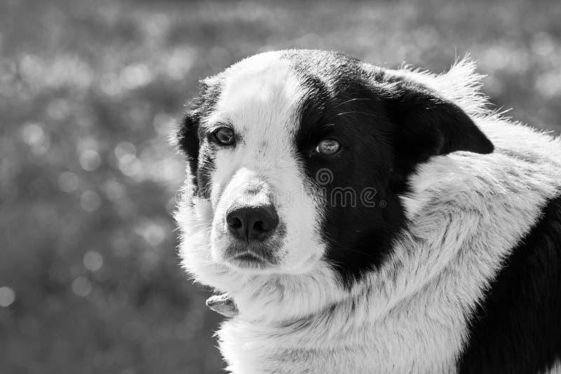 Fermez-vous du chien de berger anglais photos libres de droits