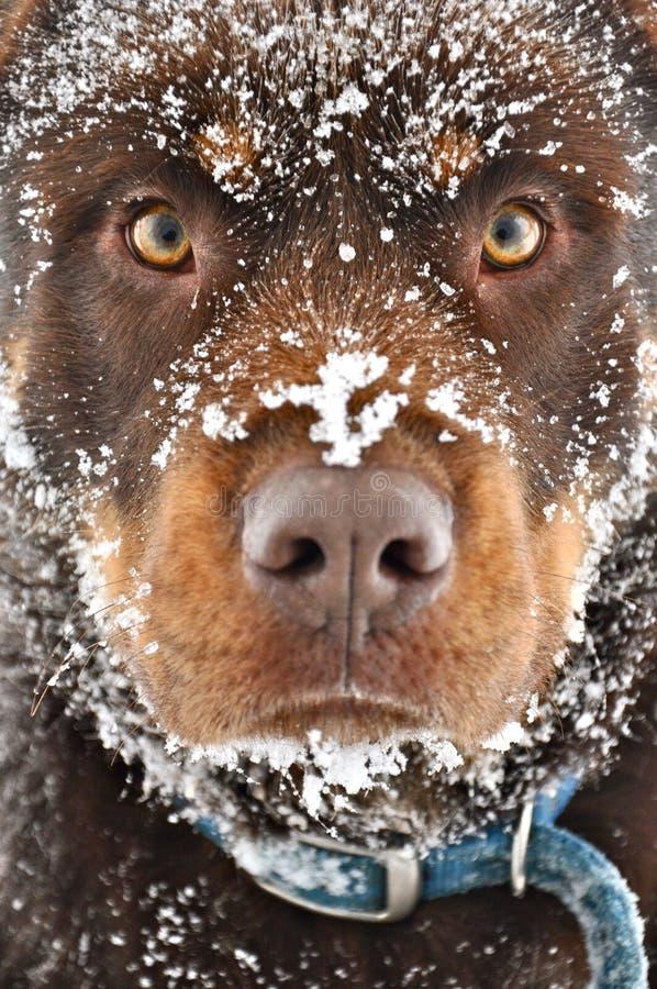 Fermez-vous du chien de Brown couvert dans la neige photographie stock libre de droits