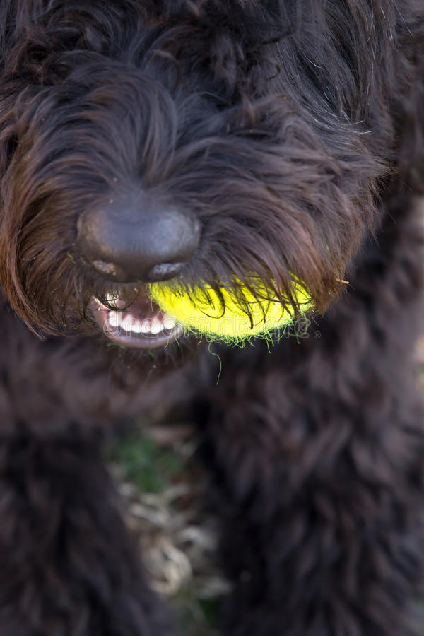 Fermez-vous du chien noir tenant la balle de tennis jaune dans la bouche photographie stock