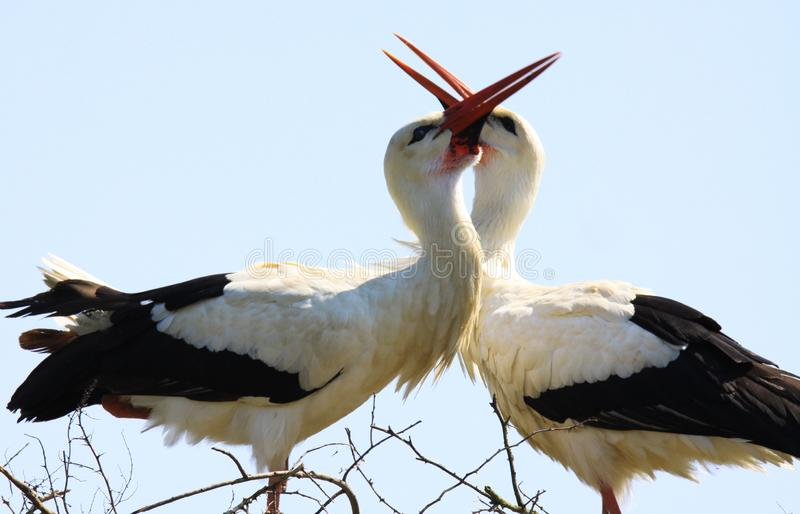 Fermez-vous du ciconia de ciconia de deux cigognes blanches dans un nid sur les becs de applaudissement d'un arbre ensemble Braba photo libre de droits