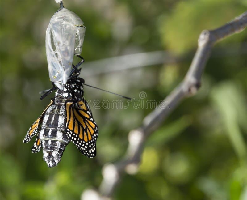 fermez vous du cocon naissant de papillon de monarque. Black Bedroom Furniture Sets. Home Design Ideas