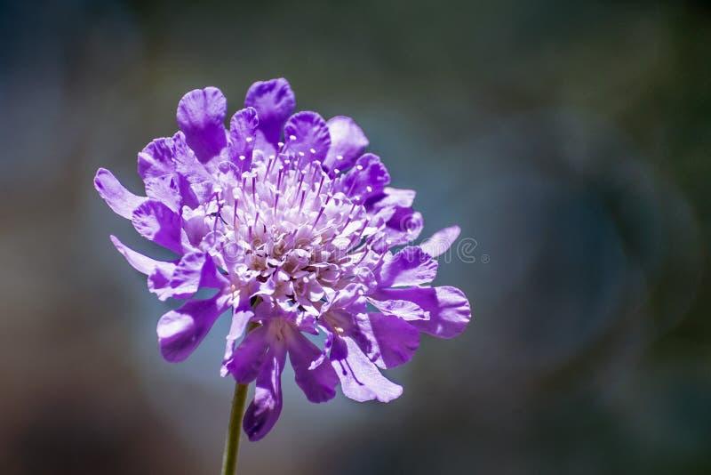 Fermez-vous du columbaria de Scabiosa de fleur de pelote à épingles sur un fond foncé photographie stock