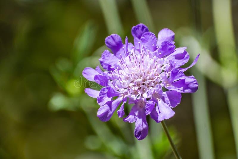 Fermez-vous du columbaria de Scabiosa de fleur de pelote à épingles sur un fond foncé photo libre de droits
