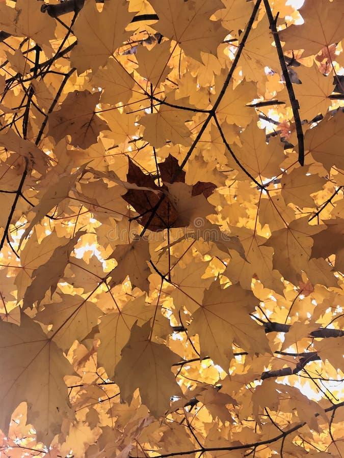 Fermez-vous du feuillage d'automne jaune, avec la feuille d'érable brune simple photo libre de droits