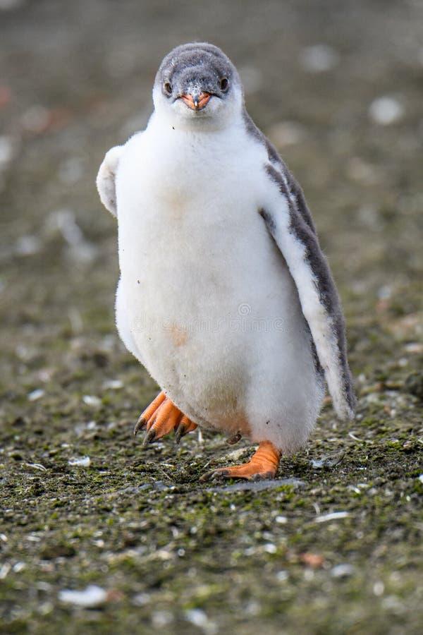 Fermez-vous du fonctionnement de poussin de pingouin de Gentoo, îles d'Aitcho, Îles Shetland du sud, Antarctique image stock