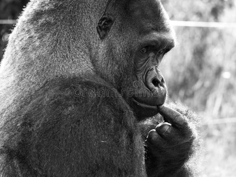Fermez-vous du gorille masculin adulte de silverback de plaine occidentale Photographié au port Lympne Safari Park près d'Ashford image stock