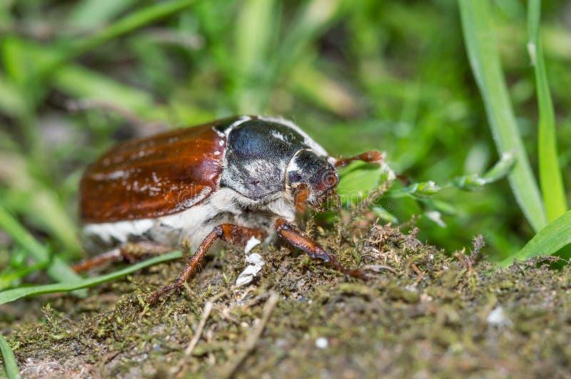 Fermez-vous du hanneton solsticial commun, parasite d'insecte de mai photographie stock