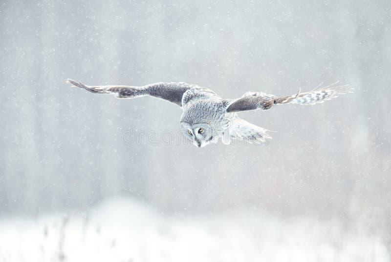 Fermez-vous du hibou de grand gris en vol en hiver image stock