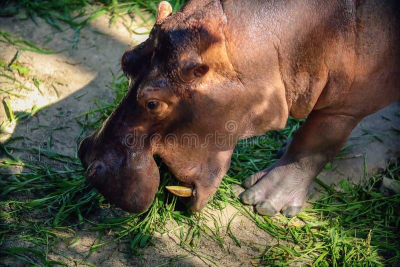 Fermez-vous du hippocampe mangeant l'herbe photo stock