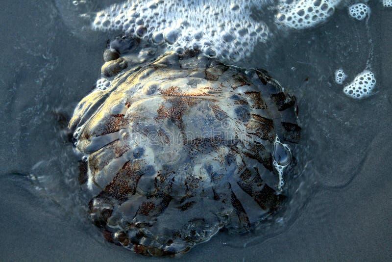 Fermez-vous du hysoscella rougeoyant de Chrysaora de méduses de boussole sur le sable volcanique noir à la Côte Pacifique au Chil photos stock