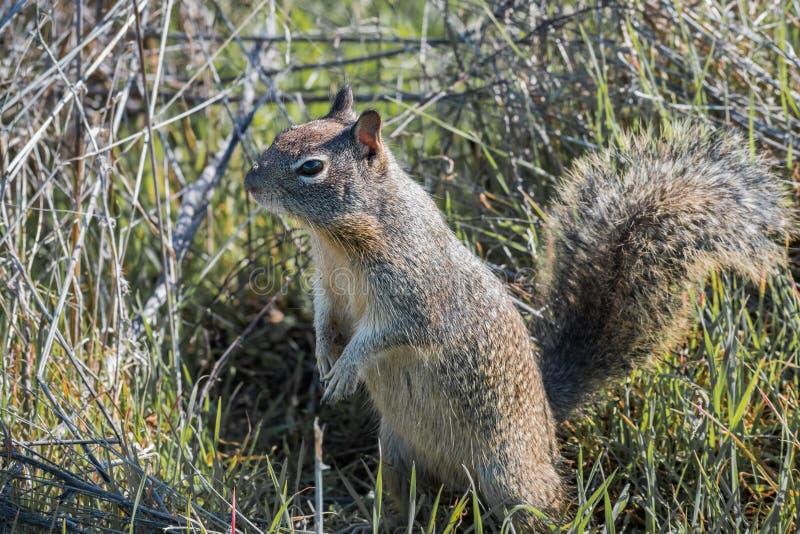 Fermez-vous du jeune écureuil moulu image libre de droits