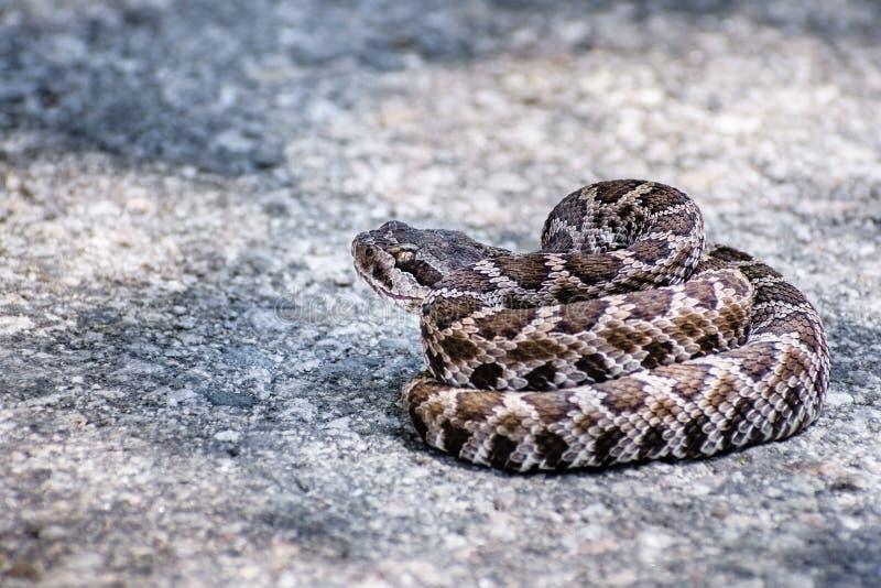 Fermez-vous du jeune serpent à sonnettes Pacifique du sud (helleri de Crotalus) lové au milieu d'une route pavée, réserve foresti photo stock