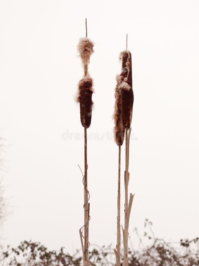 Fermez-vous du jonc en ciel blanc d'hiver en dehors d'usine de nature image libre de droits