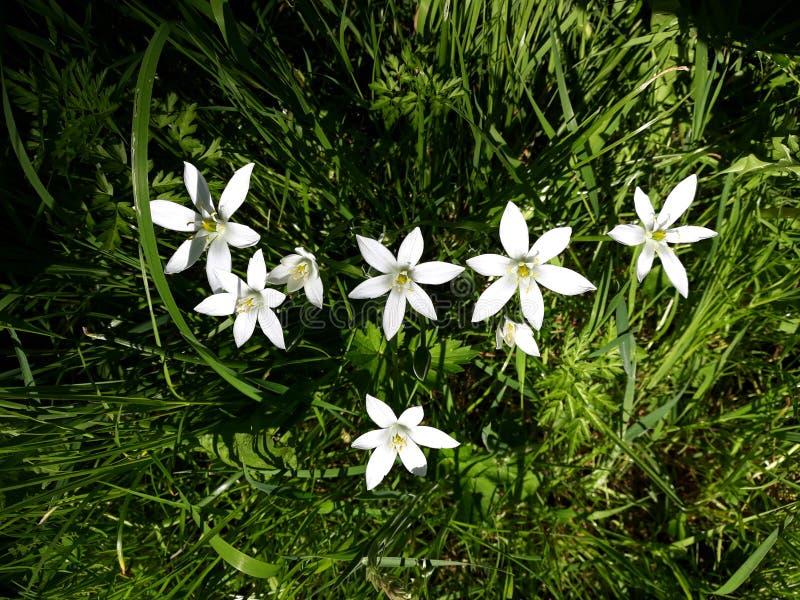 Fermez-vous du lis blanc de pluie, fleurs de candida de Zephyranthes photos libres de droits