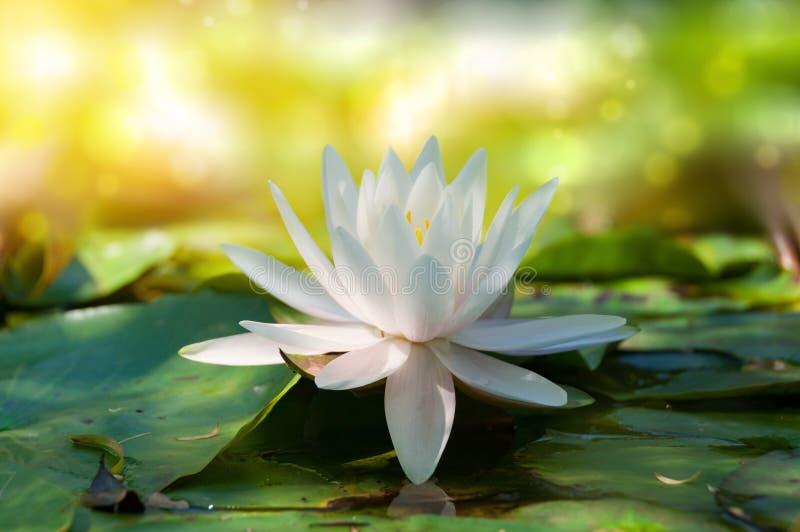 Fermez-vous du lotus, de la fleur de nénuphar avec le bokeh mou et de la lumière du soleil image stock
