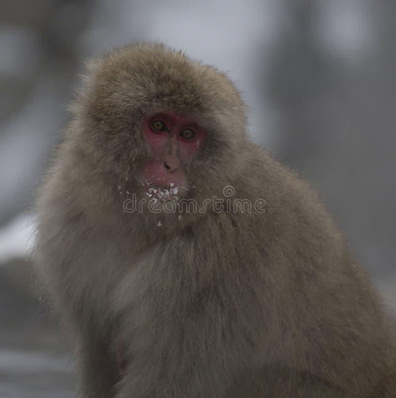 Fermez-vous du macaque ou du singe japonais de neige, fuscata de Macaca, montrant le visage rouge avec la neige sur les cheveux e photographie stock libre de droits